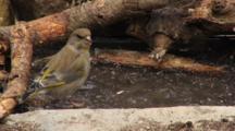 Greenfinch Female, Drinking,