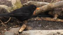Blackbird Male, Drinking, Go Hunting By Hawfinch
