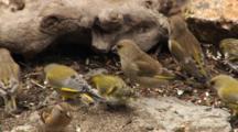 Siskin, Greenfinch,