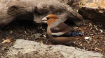 Hawfinch, Siskin,