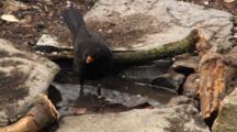 Blackbird Male, Drinking, Having A Wash, Blue Tit,