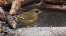 Greenfinch Male, Drinking,