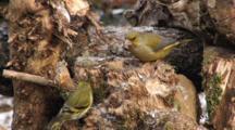 Greenfinch Male, Siskin, Fighting
