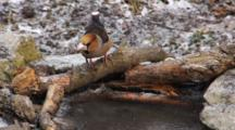 Hawfinch, Drinking, Flight,