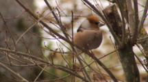 Hawfinch, Observing Around