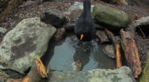 Blackbird Male, Having A Wash, Flight,