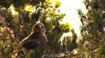 Short-Toed Eagle, Observing, Shaking, Juvenile, Nest,