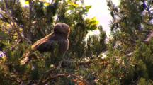 Short-Toed Eagle, Observing, Epouillage,