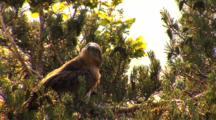Short-Toed Eagle, Observing Parent Around,