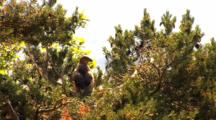 Short-Toed Eagle, Observing Around, Pant,