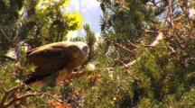 Short-Toed Eagle, Observing,