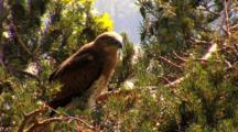 Short-Toed Eagle, Observing Around,