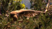 Short-Toed Eagle, Stretching, Pant,