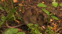 Field Mouse, Eating,