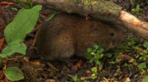 Vole, Motionless,
