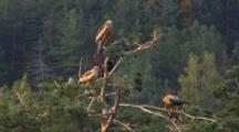 Red Kite, Raven, Top Of The Tree,