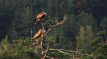Red Kite, Top Of The Tree,