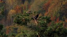 Red Kite, Raven, Top Of The Tree, Fighting Between Them,