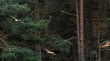 Red Kite, Flying,