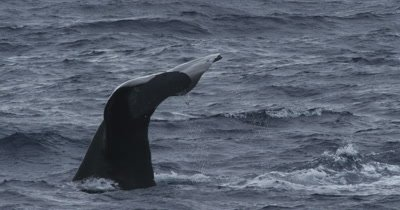 Male Sperm Whale breathing and diving