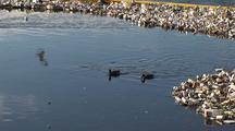 Ducks Swim Among Trash Collected In Los Angeles River System