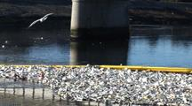 Sea Gulls Fly Over Trash Collected In Los Angeles River System