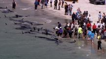 Aerial Of Pilot Whale Stranding, People Helping