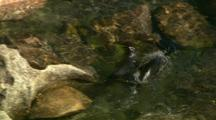 New Zealand Fur Seals In Shallow Pool