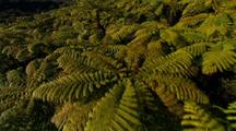 Aerial Flying Low Over Forest Of Tree Ferns