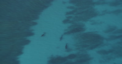 High Aerial Through Clear Water,Zoom To Humpback Whales On Surface