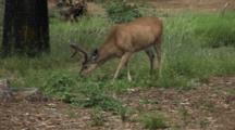 Mule Deer (Buck) Grazing In The Yosemite Valley In Yosemite National Park, California