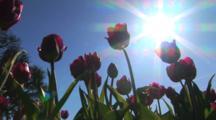 Underside Of Tulips