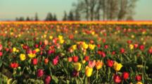 Multi-Colored Tulip Field