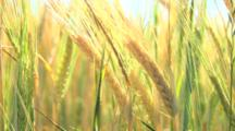 Close Up Of Stalks Of Wheat In The Field
