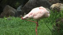 Flamingo Balanced On One Leg, Hawaii