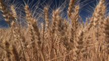 Golden Wheat Ready To Be Harvested, Connell, Washington