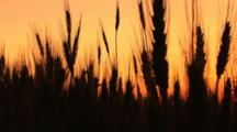 Stalks Of Wheat In Silhouette At Sunset, Palouse, Washington