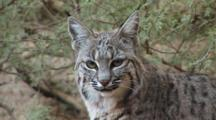 Sitting On A Rock, A Bobcat Looks At The Camera