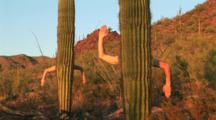 Arms Reaching Out From The Trunk On A Saguaro Cactus
