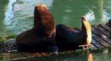 Two Sea Lions Getting Some Sun On A Floating Dock In Newport, Oregon