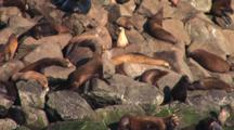 Group Of Sea Lions On The Rocky Coastline Of Newport, Oregon