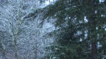 Snow Falling On Pines