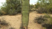 Zoom In Shot Of Saguaro Cactus In Scottsdale, Arizona