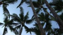 Looking Up At Palm Trees, Hawaii, Big Island