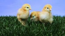 Young Chickens On A Patch Of Green Grass