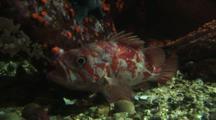 Vermilion Rockfish In Aquarium