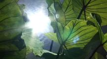 Taro Plant With Light Reflecting Off Water