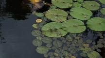 Dragonflies Mating On Lily Pad
