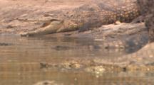 Nile Crocodiles Sunbathing By River 2