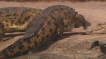 Nile Crocodiles Crawling Up River Bank